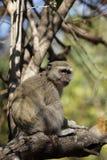猴子vervet 库存照片
