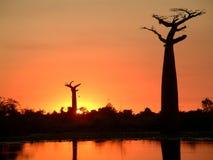 猴面包树剪影 免版税图库摄影