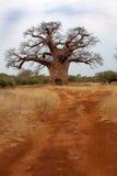 猴面包树在Bushveld 库存图片