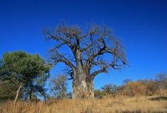 猴面包树大结构树 免版税图库摄影