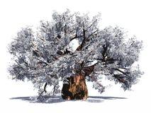 猴面包树巨大的查出的结构树 免版税库存照片