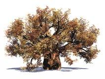 猴面包树巨大的查出的结构树 免版税图库摄影