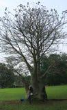 猴面包树树在茂物 免版税库存照片