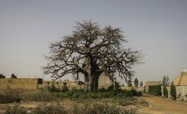 猴面包树树猴面包树digitata在市区布基纳法索 库存照片