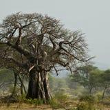 猴面包树横向坦桑尼亚结构树 图库摄影