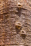 猴面包树的树干 免版税库存照片