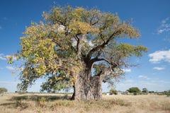 猴面包树纳米比亚 库存照片