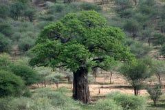猴面包树结构树- Tarangire国家公园。 坦桑尼亚,非洲 免版税库存照片