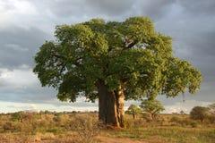 猴面包树结构树- Tarangire国家公园。 坦桑尼亚,非洲 免版税库存图片