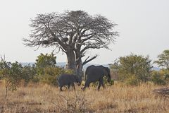 猴面包树通过结构树走的小牛大象 免版税库存照片