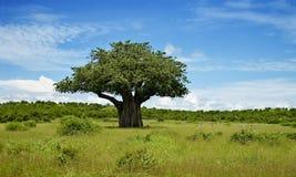 猴面包树 图库摄影