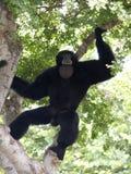 猿唱腔 免版税库存照片