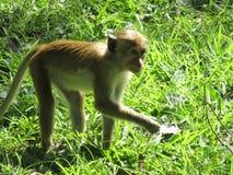 猿在斯里兰卡 库存照片
