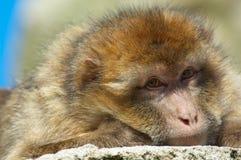 猿巴贝里纵向 免版税库存图片