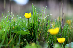 猿猴草属palustris/早晨露水的沼泽marigold/kingcup 免版税库存照片