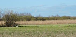 獐鹿和苍鹭在领域,立陶宛 免版税库存照片