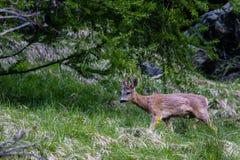 獐鹿大型装配架 免版税图库摄影