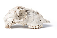 獐鹿头骨 库存图片