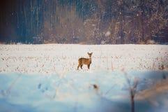 獐鹿牧群在一个领域的在一个好晴朗的冬日 库存图片