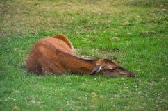 獐鹿饥饿杀害的狍属狍属由于在山的栖所损失 库存图片