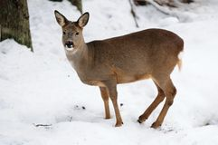 獐鹿鹿在冬天 免版税库存照片