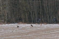 獐鹿鹿 免版税库存图片