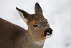 獐鹿鹿 库存图片