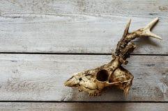 獐鹿头骨背景 库存照片