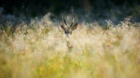 獐鹿 免版税库存图片