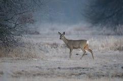 獐鹿 免版税图库摄影