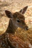 獐鹿 库存图片
