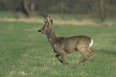 獐鹿 库存照片