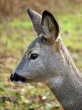獐鹿 图库摄影