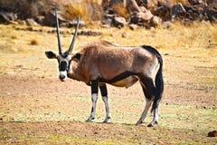 獐鹿 免版税库存照片