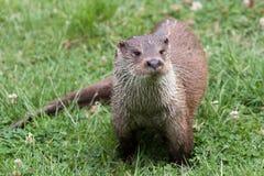 水獭在英国野生生物中心 库存图片