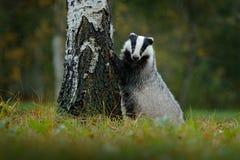 獾在森林,兽性栖所,德国里 野生生物场面 野生獾,獾属獾属,在木头的动物 欧洲獾, autum 库存照片