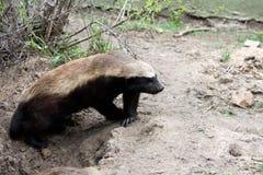 獾蜂蜜 库存图片