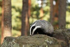 獾-獾属獾属-在石头在森林里 库存图片