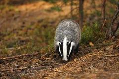 獾-獾属獾属-在秋天森林里 库存照片