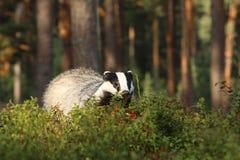 獾-獾属獾属-在越桔灌木 库存照片