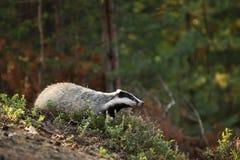 獾-獾属獾属-寻找在石南花之间的饲料 库存照片