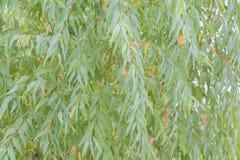 玉树叶子 分支玉树自然背景 图库摄影