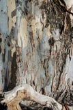玉树吠声木纹理和背景  库存照片