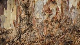 玉树吠声木纹理和背景  库存图片