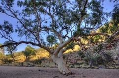 玉树在沙漠 免版税库存照片