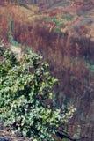 玉树在烧伤森林里 库存照片