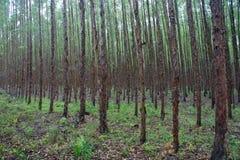 玉树森林 库存照片