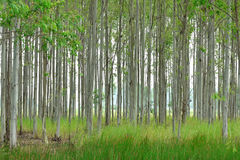 玉树的种植园纸产业的 免版税图库摄影