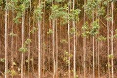 玉树种植园 免版税图库摄影