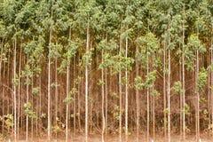 玉树种植园 图库摄影
